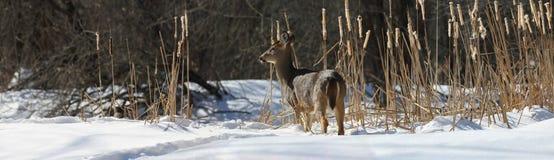 Hjortar i natur under vinter arkivfoto