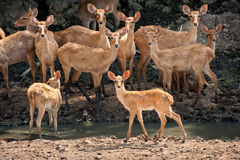 Hjortar i naturen. royaltyfria foton