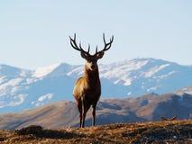 Hjortar i New Zealand Fotografering för Bildbyråer