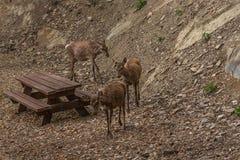 Hjortar i parkera Arkivbild