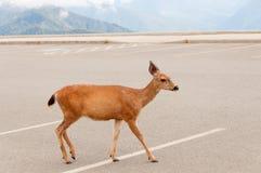 Hjortar i parkeringsplats Arkivfoto