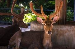 Hjortar i Phuket Zooo royaltyfri fotografi