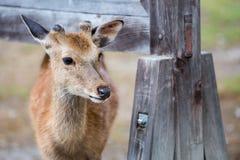 Hjortar i regndagen Royaltyfri Fotografi