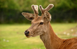 Hjortar i sätta in Fotografering för Bildbyråer