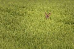 Hjortar i skördfält Arkivfoton