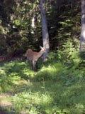 Hjortar i skogen Arkivbild