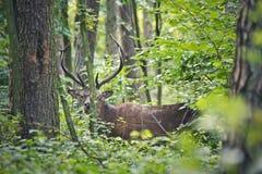 Hjortar i skogen Royaltyfri Foto