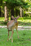 Hjortar i skogen Royaltyfria Foton