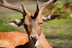 Hjortar i skogslutet upp Arkivbilder