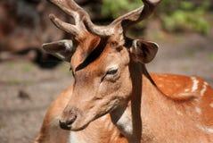 Hjortar i skogslutet upp Royaltyfri Bild