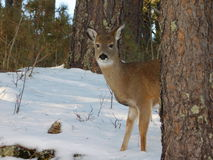 Hjortar i snö Fotografering för Bildbyråer