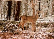 Hjortar i snöig trän Royaltyfri Bild