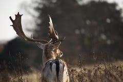 Hjortar i solljus Fotografering för Bildbyråer