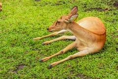 Hjortar i Thailand Arkivbilder