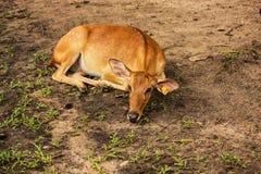 Hjortar i Thailand Arkivfoto