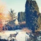 Hjortar i trädgård på solig vinterdag Arkivbilder