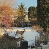 Hjortar i trädgård på solig vinterdag Arkivbild