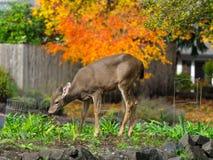 Hjortar i trädgården Arkivbild