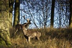Hjortar i träna Fotografering för Bildbyråer