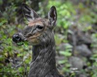 Hjortar i träna, djurliv fotografering för bildbyråer