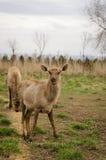 Hjortar i vår Flock av Sika hjortar Fotografering för Bildbyråer