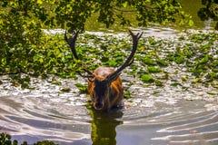 Hjortar i vattnet Arkivfoto