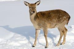 Hjortar i vinter Arkivbild