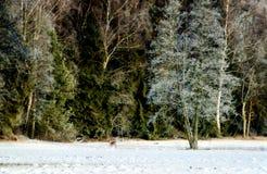 Hjortar i vinter Fotografering för Bildbyråer