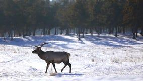 Hjortar i vinterskogen arkivfilmer
