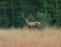 Hjortar i woods_3en Arkivfoto