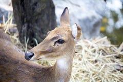 Hjortar i zoo Royaltyfri Bild