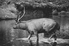 Hjortar korsar floden i skog Royaltyfria Foton