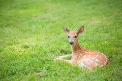 Hjortar lismar att ligga i ett gräs- fält Arkivfoton