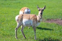hjortar lismar den älska watchful whitetailen för momen Arkivfoto