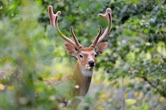 hjortar lismar den älska watchful whitetailen för momen Royaltyfri Foto