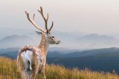 hjortar lismar den älska watchful whitetailen för momen Royaltyfria Bilder