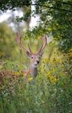 hjortar lismar den älska watchful whitetailen för momen Fotografering för Bildbyråer