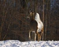 hjortar lismar den älska watchful whitetailen för momen Royaltyfri Bild