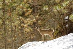 hjortar lismar den älska watchful whitetailen för momen Arkivfoton