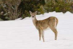hjortar lismar den älska watchful whitetailen för momen Royaltyfria Foton