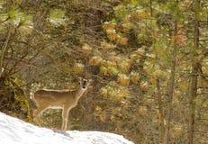 hjortar lismar den älska watchful whitetailen för momen Arkivbild
