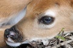 hjortar lismar den nyfödda whitetailen Royaltyfri Foto