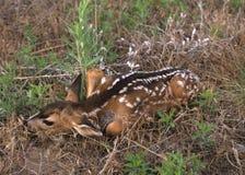 hjortar lismar den nyfödda mulen Arkivbilder