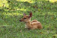 hjortar lismar gräsgreen Royaltyfri Foto