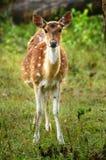 hjortar lismar prickigt Fotografering för Bildbyråer
