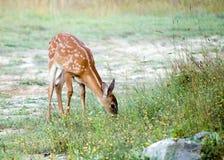 hjortar lismar whitetailen Arkivfoton