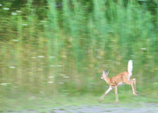 hjortar lismar whitetailen Royaltyfria Foton