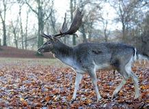 Hjortar med horn på kronhjort i höst Royaltyfri Bild