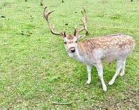 Hjortar med kraftiga horn Royaltyfria Bilder