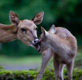 Hjortar med lismar Arkivfoto